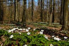Nemorosa Anemone στο δάσος Στοκ Φωτογραφίες
