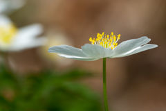 Nemorosa Anemone στο δάσος Στοκ Εικόνες