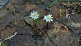 Nemorosa Anemone Το δάσος snowdrops την άνοιξη Στοκ Εικόνες
