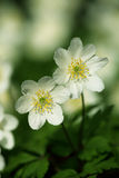 nemorosa anemone Στοκ Εικόνα