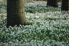 nemorosa anemone Στοκ Εικόνες
