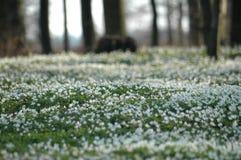 nemorosa anemone Στοκ Φωτογραφίες