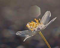 Nemorosa Anemone Στοκ φωτογραφία με δικαίωμα ελεύθερης χρήσης