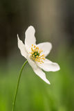 Nemorosa blanc d'anémone, fleur simple Photo libre de droits