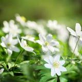 Nemorosa blanco de la anémona de las flores de la primavera en un fondo verde imágenes de archivo libres de regalías