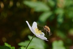 Nemorosa de la anémona del néctar de la flor de la abeja que chupa cerca del bosque Imagenes de archivo