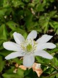 Nemorosa dell'anemone Fotografia Stock