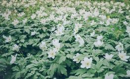 Nemorosa dell'anemone dei Windflowers sul pavimento della foresta Fotografia Stock Libera da Diritti