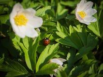Nemorosa Ladybug και άνθισης Anemone στο pomoravi Litovelske, Δημοκρατία της Τσεχίας Στοκ Φωτογραφία