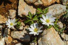 Nemorosa nelle montagne della riserva di biosfera di Shouf, Libano dell'anemone fotografie stock