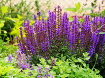Nemorosa Salvia Στοκ Φωτογραφίες