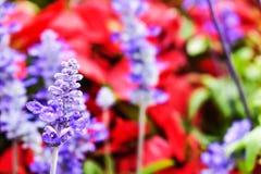 Nemorosa violeta abstracto de Salvia de la flor en un día soleado al principio de la estación de verano imagen de archivo