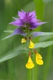 (Nemorosum de Melampyrum) vache-blé bleu Photo libre de droits