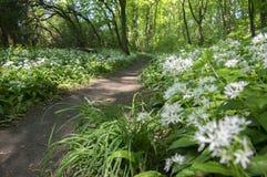 Nemosicka stran,角树森林,有趣的不可思议的自然地方充分开花的狂放的熊大蒜,道路投掷森林,晴朗 库存图片