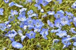 Nempphila kwiat Obrazy Royalty Free