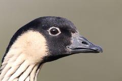 Nene或夏威夷鹅,黑雁sandvicensis 免版税库存照片
