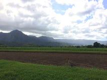 Nene,在芋头领域的夏威夷鹅在考艾岛海岛,夏威夷上的Hanalei谷 库存图片