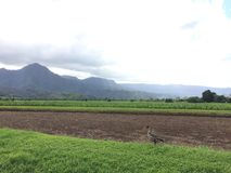 Nene,在芋头领域的夏威夷鹅在考艾岛海岛,夏威夷上的Hanalei谷 免版税库存照片