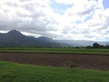 Nene, της Χαβάης χήνα Taro στους τομείς στην κοιλάδα Hanalei Kauai στο νησί, Χαβάη Στοκ Εικόνα