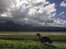 Nene, гаваиская гусыня в полях таро в долине Hanalei на острове Кауаи, Гаваи Стоковые Фотографии RF