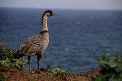 鹅夏威夷nene 免版税库存图片