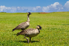 Nene birds Royalty Free Stock Image