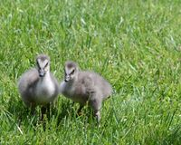 Nene chicks2 Royalty Free Stock Image