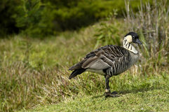 Nene Endangered and Protected Stock Photo