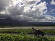 Nene, ganso havaiano em Taro Fields no vale de Hanalei na ilha de Kauai, Havaí Imagem de Stock