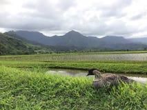 Nene, ganso hawaiano en Taro Fields en el valle de Hanalei en la isla de Kauai, Hawaii Imagenes de archivo