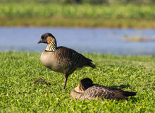 Nene geese in Hanalei Valley on Kauai Royalty Free Stock Photos