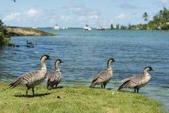 Nene Geese in Hawaii Stock Photography