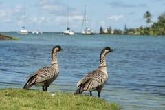 Nene Geese in Hawaii Royalty Free Stock Photo