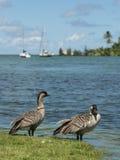 Nene Geese in Hawaii Stock Photo