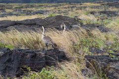NeNe Geese on Lava and Grass In Hawaii Stock Photos