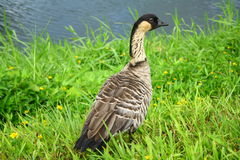 NeNe Goose Stock Photography