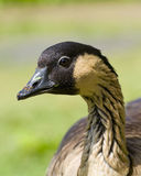 Nene Goose Royalty Free Stock Photography