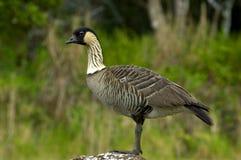 Nene goose. Portrait of hawaiian state bird, the nene goose Royalty Free Stock Photo