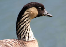 Free Nene Goose Royalty Free Stock Image - 8198566