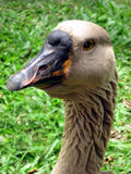 Nene Goose. Close Up Portrait Of Nene Goose Royalty Free Stock Image