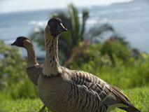 Nene Goose Eating Grass Kauai Hawaii arkivfoto