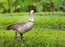 Nene goose in Hanalei Valley on Kauai Stock Photography