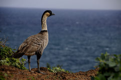Nene Goose in Hawaii Royalty Free Stock Images