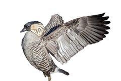 Nene Goose-verwijderd en geïsoleerde vogel Royalty-vrije Stock Foto