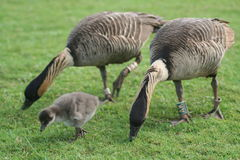 Nene gosling Royalty Free Stock Photography