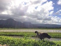 Nene hawaiansk gås i Taro Fields i den Hanalei dalen på den Kauai ön, Hawaii Royaltyfri Foto