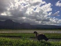 Nene hawaiansk gås i Taro Fields i den Hanalei dalen på den Kauai ön, Hawaii Royaltyfri Bild
