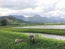 Nene hawaiansk gås i Taro Fields i den Hanalei dalen på den Kauai ön, Hawaii Royaltyfria Bilder