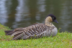 Nene (Hawaii Goose) Portrait Stock Image