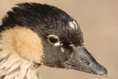 Nene or Hawaiian Goose. A close up of a Nene or Hawaiian Goose Stock Photos